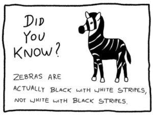 Fun Fact Trivia - Zebras are actually black with white stripes not white with black stripes