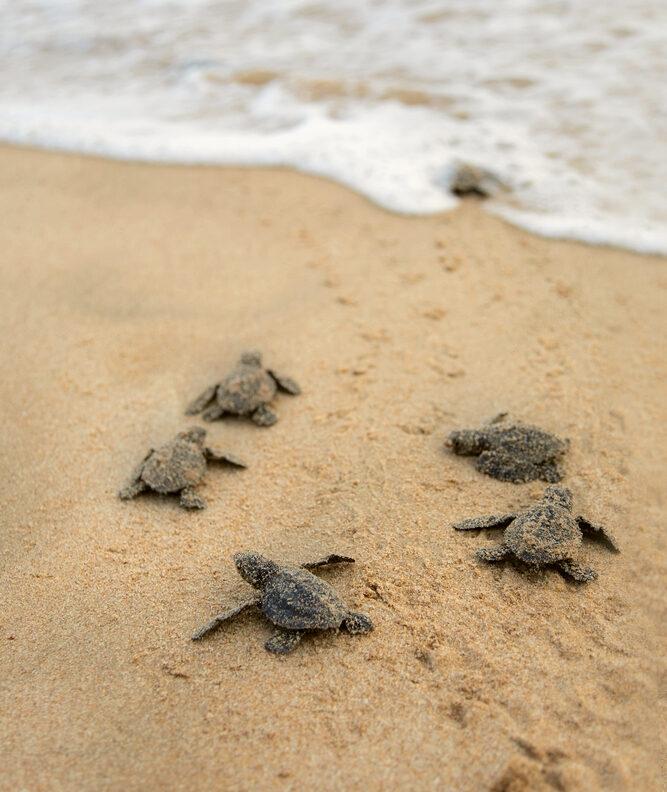 stock-photo-loggerhead-sea-turtle-emergence-turtles